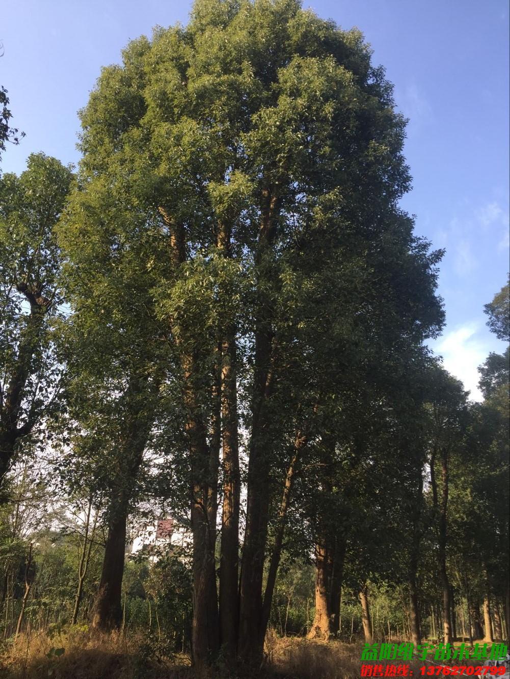 早春雨后大树风景照